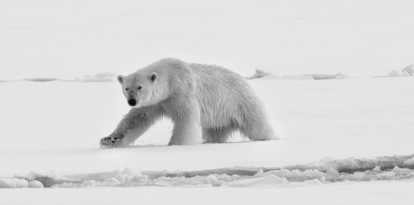 Polarbear, Svalbard - Norway 2016