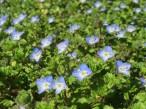Trädgårdsveronika Veronica persica