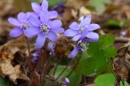 Blåsippa Anemone hepatica