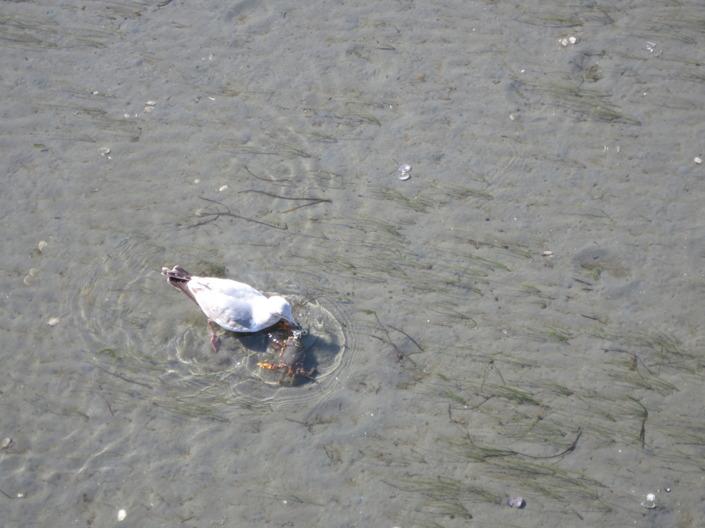 En fågel har hittat sin lunch. Inte lika kul för krabban.