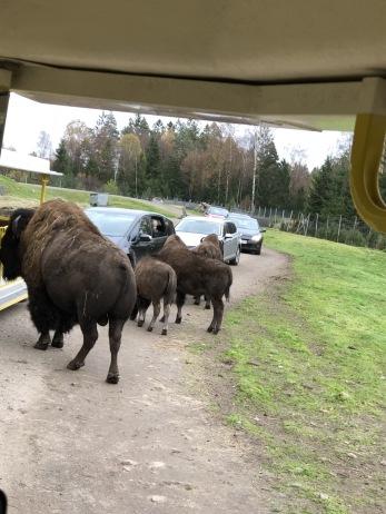 Det kan nog vara lite läskigt när man har stora bisonoxar precis utanför bilen.