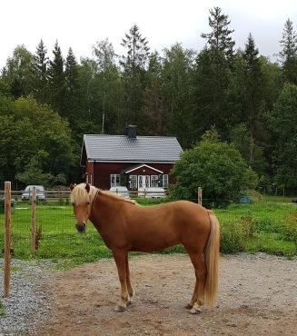 Min mysiga ridlägerhäst Sunna