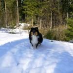 Empericals Beauty In Black ''Bella'' Född: 2018-07-23 Ägare: Kim Jonsson Empericals Kennel