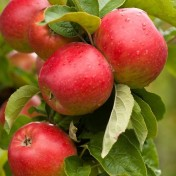 äppl 1
