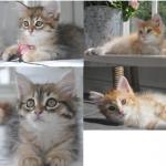 Bovin-kattungar