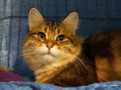 Juniorhanen S*Missemoj´s Coffee i sin bur. En svartgoldentabby  sibirisk katt. Ägare Linda Söderberg