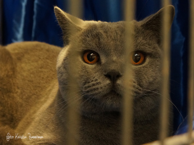 SE*Ninim´s Aries, en blå brittiskt korhår, vuxen hane tog det lugnt i sin bur. Ägare Suzanne Hedelind