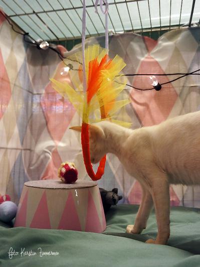 """Ytterligare en bild på  S*Yzing´s Snapz i sin """"cirkusbur"""".  Han ville """"nästan"""" stila för fotografen och hoppa genom ringen, men ändrade sig och gick och lade sig istället. Ägare Emma Bertheussen"""