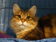BÄSTA UNGDJUR/JUNIOR HANE – S*Missemoj´s Coffee. En svartgoldentabby  sibirisk katt. Ägare Linda Söderberg