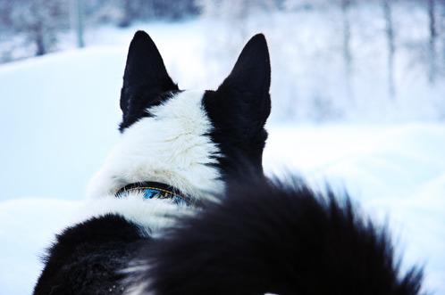 Jättösarven Olli, Karlensk björnhund. Foto: Moa Bäcklund