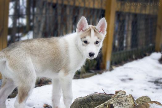 Team Israelsson Sally på upptäcktsfärd i nya hundgården – drygt 9 veckor gammal.