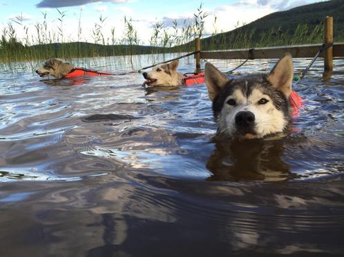 När hundarna väl har vant sig njuter de av simträningen och tycker det är riktigt skönt att göra sig av med överskottsenergi