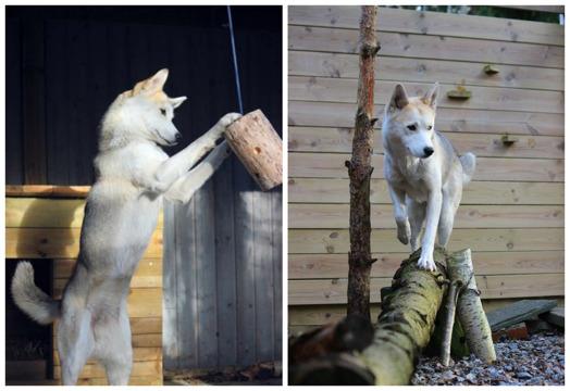 Ratchel är en hund som verkligen uppskattar att både leta rätt på ätbart och klättra/balansera. Ett  enkelt sätt att smyga in balans- och coreträning i draghundens vardag.