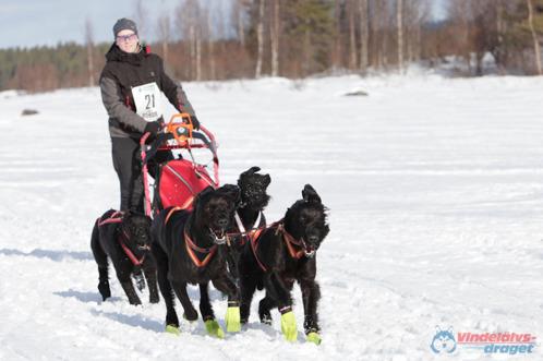 Tre av fyra hundar på kortet är släkt till valparna, längst fram till vänster är morfar Timmie och bak har vi morfars systrar Thia samt Trollet.  Foto: Joakim Blomkvist. Vindelälvsdraget 2012
