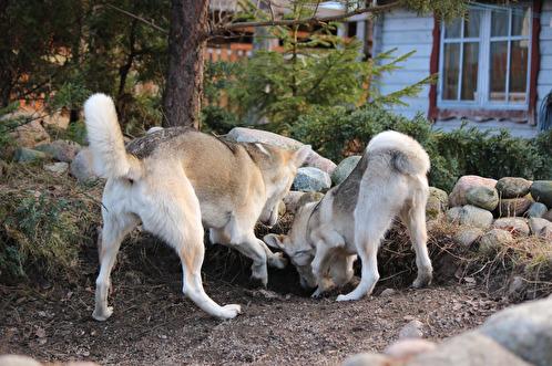 Två grävtokiga tjejer samarbetar. Målet är knappast att göra matte tokig, utan snarare har de funnit något de finner vara mycket stimulerande och roligt. Att gräva är inte bara berikande för hunden, det är också ett bra sätt att stärka kroppens muskler.