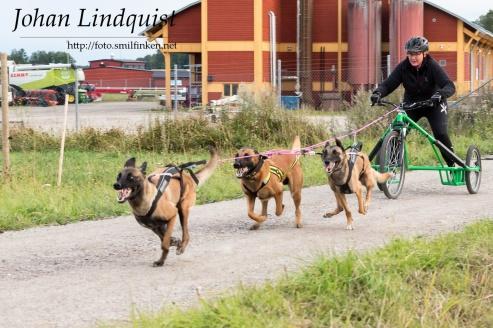 Förare Annika Berglund Hundar:  Arwen av Bergsprekken, Krokasmedens Elvis och Krokasmedens Aik
