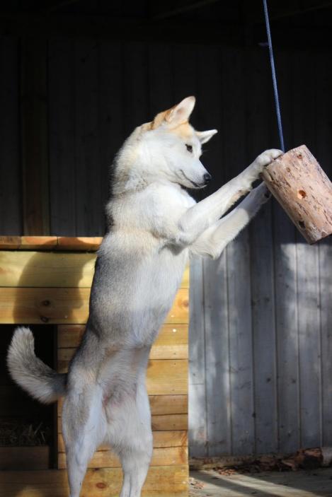 Den hängande gottestubben i hundgården erbjuder rörelse-, jakt- och födoberikning allt i ett.