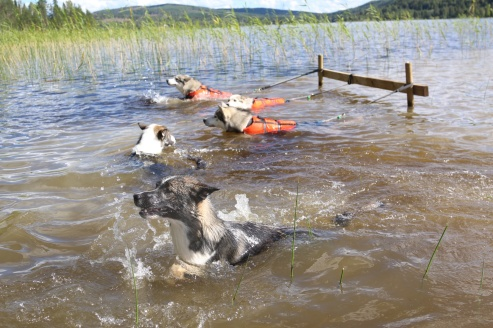 Lär hundarna redan från tidig ålder att det är roligt med vatten och de simmar självmant ut och busar