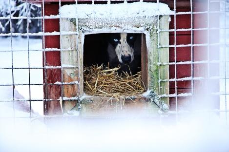 Aslan, Alaskan Husky. Foto: Moa Bäcklund