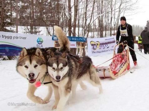 Nordisk stil med en nordisk släde. Man kan köra 1-4 hundar. Foto: Martin Wagenius