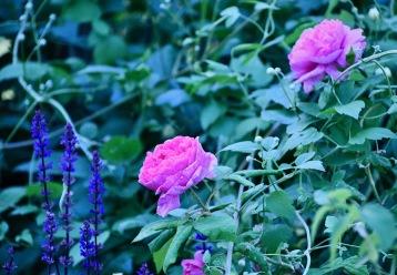 Rosor och stäppsalvia i vår trädgård
