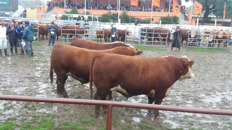 Bulls in the pen show. Click to enlarge.