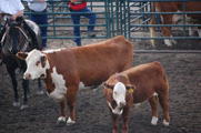 Grand Champion Cow and Calf: Remitall Rita 13T with bull calf Remitall West Eberle 29Z