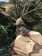 Trädfällning i Halland- Ta hjälp med trädfällning i Halmstad, Falkenberg. Oskarström av Kvibille Stubbfräsning AB