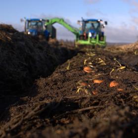Halmade morötter skördas året runt