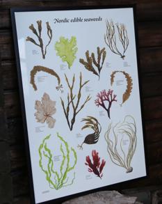 TÅNGAFFISCH | SEAWEED POSTER -