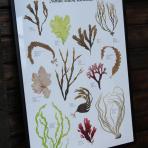 TÅNGAFFISCH | SEAWEED POSTER