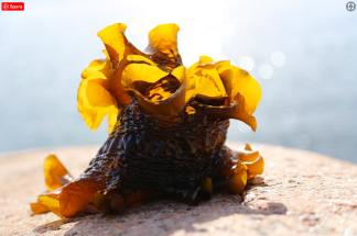 FOTOGRAFIER TÅNG | SEAWEED PHOTOS - Sockertång / Saccharina latissima, 10MB