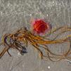 FOTOGRAFIER TÅNG   SEAWEED PHOTOS - Remtång / Himanthalia elongata, 15MB