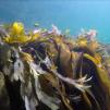 FOTOGRAFIER TÅNG   SEAWEED PHOTOS - UV Undervattensbild tång, 5MB