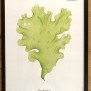 SEAWEED POSTER - havssallad | sea lettuce