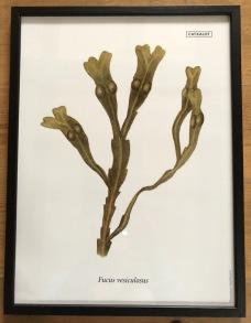 SEAWEED POSTER - blåstång | bladderwrack
