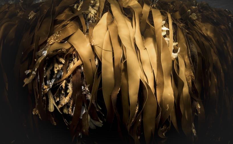 Seaweed in Grebbestad. Photo: Magnus Lundborg