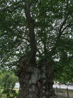 Uggleträdet (Sockerdricksträdet) på Näs