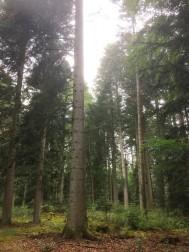 Stora silvergranen, 39 meter hög och fyra meter i omkrets. Visingsö
