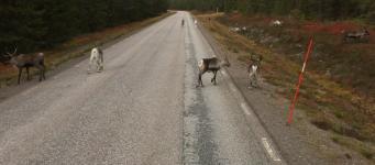 Renar i vägrenen in mot Norrbottens län