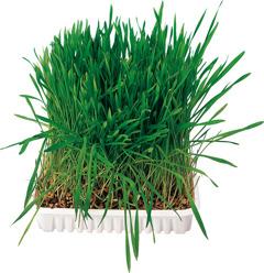 Gnagargräs 100 g - Gnagargräs 100 g