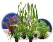 Akvarieväxter