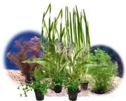 Akvarieväxter - Akvarieväxter