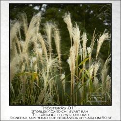 Höstgräs-1