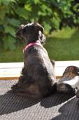 Olivia har just kommit till sin nya matte och husse 2014. Kennel: CC's