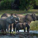 Elefant Botswana  1