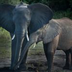 Elefant Botswana  2
