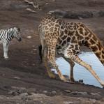 Zebra Giraff Namibia 1