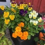 Vårö blommor