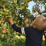Vi plockar äpplen i Vålånger